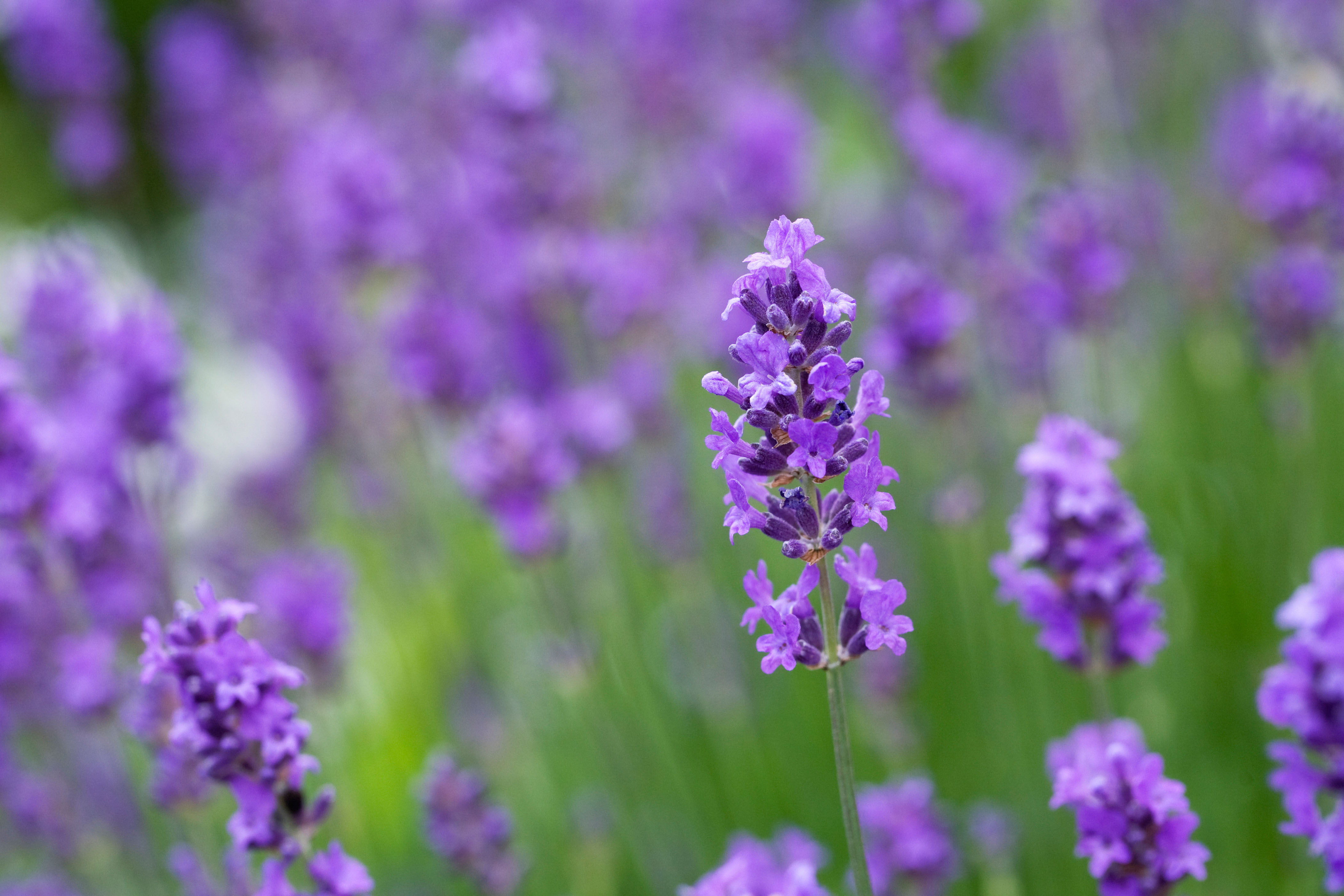 Lavender can help to ease symptoms of anxiety, which is one of the most common mental health conditions